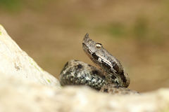 关闭爬行在岩石的有毒欧洲蛇 库存照片