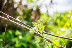 关闭爬行植物的软的叶子 库存照片