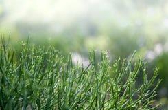 关闭牛奶灌木被隔绝的铅笔树 免版税图库摄影