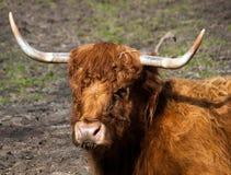 关闭牦牛头 免版税图库摄影