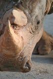 犀牛面孔画象 免版税库存照片