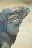关闭犀牛鬣鳞蜥的头画象  免版税库存图片