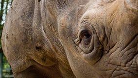 关闭犀牛 免版税库存图片
