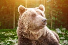 关闭狂放的大男性棕熊射击  图库摄影