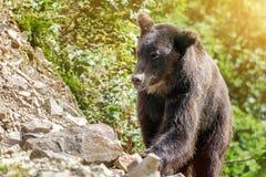 关闭狂放的大男性棕熊射击  免版税图库摄影