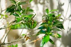 关闭狂放的昆虫绿色毛虫 免版税图库摄影