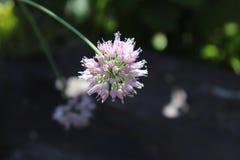 关闭狂放的阔叶烟草的香葱,葱属senescens宏指令,生长在一个晴天在有机庭院里,被弄脏的背景 库存照片