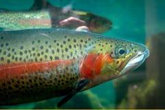 关闭狂放的鳟鱼游泳在河 库存图片