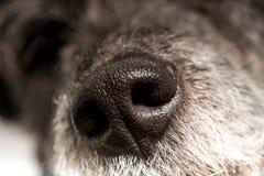 关闭狗的冷的湿鼻子 免版税库存图片