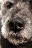 关闭狗的湿鼻子 免版税库存照片