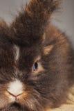 关闭狮子头兔子兔宝宝的画象 库存照片