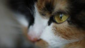 关闭猫面孔,棕色眼睛 股票录像
