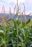 关闭玉米的详细的图象隔绝与天空在背景中 库存图片