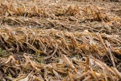 关闭玉米被收获的行  图库摄影