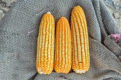 关闭玉米 免版税库存照片