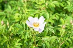 关闭玫瑰色花在有一只蜂的一个庭院里在花 库存照片