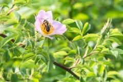 关闭玫瑰色花在有一只蜂的一个庭院里在花 免版税库存照片