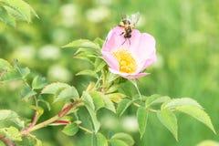 关闭玫瑰色花在有一只蜂的一个庭院里在花 图库摄影