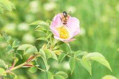 关闭玫瑰色花在有一只蜂的一个庭院里在花 免版税库存图片