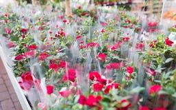 关闭玫瑰色花在从事园艺的商店 库存图片