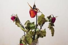 关闭玫瑰色花的耳垂在白色背景的 免版税库存照片