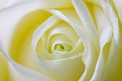关闭玫瑰花瓣宏观射击,春天花卉背景 免版税库存照片