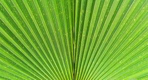 关闭生动的热带绿色棕榈叶纹理 图库摄影