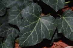 关闭生长在一个花圃里的深绿英国常春藤照片在10月 库存照片