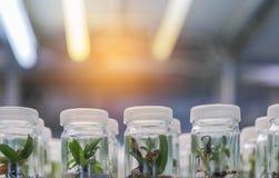 关闭生长在架子的瓶的兰花植物组织培养植物的托儿所 免版税库存图片