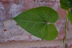 关闭生长在10月的一棵1棵绿色心形的常春藤的照片 免版税库存图片