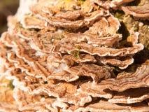 关闭生长多孔菌真菌宏指令在自然树木头森林地之外的 免版税库存照片