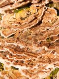 关闭生长多孔菌真菌宏指令在自然树木头森林地之外的 库存照片