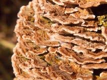 关闭生长多孔菌真菌宏指令在自然树木头森林地之外的 图库摄影