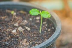 关闭生长从土壤的绿色新芽植物 库存照片