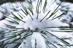 关闭用雪报道的冷杉分支在冬天 免版税库存图片