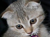 关闭由逗人喜爱的幼小棕色苏格兰猫决定, detai的眼睛和面孔 库存图片