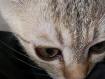 关闭由逗人喜爱的幼小棕色苏格兰猫决定, detai的眼睛和面孔 免版税图库摄影