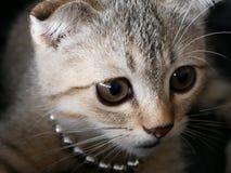 关闭由逗人喜爱的幼小棕色苏格兰猫决定, detai的眼睛和面孔 免版税库存照片