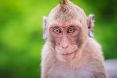 关闭由长尾的短尾猿决定的面孔或螃蟹吃短尾猿( 库存图片