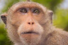 关闭由长尾的短尾猿决定的面孔或螃蟹吃短尾猿( 图库摄影