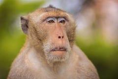 关闭由长尾的短尾猿决定的面孔或螃蟹吃短尾猿( 免版税库存图片