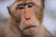 关闭由长尾的短尾猿决定的面孔或螃蟹吃短尾猿( 库存照片