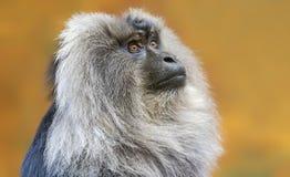 关闭男性狮子被盯梢的短尾猿 免版税库存图片