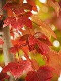 关闭留给槭树红色结构树  库存图片