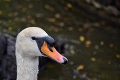 关闭疣鼻天鹅在圣詹姆斯公园伦敦英国 免版税库存照片