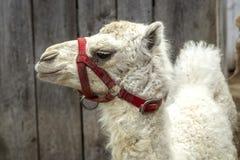 关闭白变种骆驼 免版税图库摄影