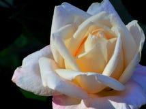 关闭白玫瑰 库存照片