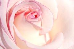关闭白色和桃红色玫瑰花瓣在阳光下 库存照片