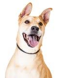 关闭白色和Tan大混杂的品种狗 免版税图库摄影