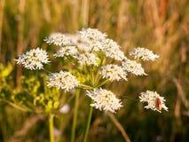 关闭白色母牛荷兰芹头状花序在与昆虫的夏天 库存照片